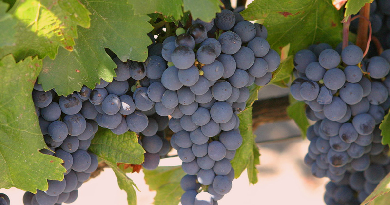 Uvas do tipo Malbec - Foto: Wikimedia Commons
