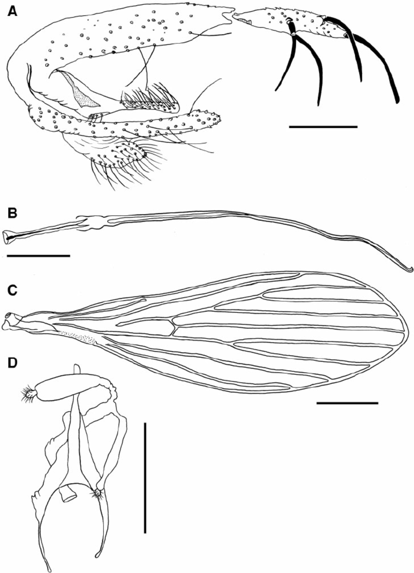 Fig. 2. Psathyromyia baratai sp. n. Sa ́ bio, Andrade & Galati. ( A ) Terminalia of the male holotype. ( B ) Genital filaments of the male holotype (Scale bar: 100 m m). ( C ) Wing of the female paratype (Scale bar: 200 m m). ( D ) Spermathecae of the female paratype (Scale bar: 100 m m).
