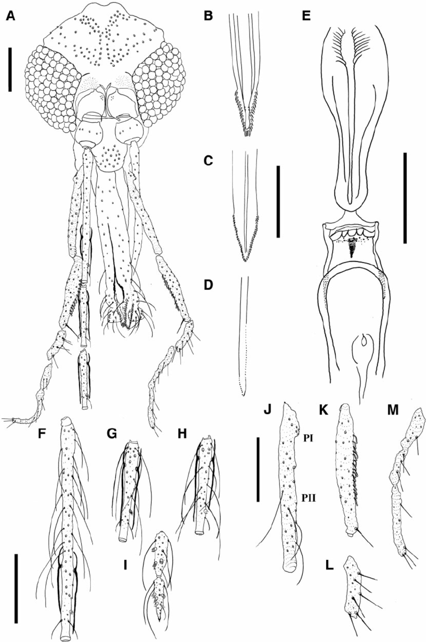 Fig. 3. Female paratype of Psathyromyia baratai sp. n. Sa ́ bio, Andrade & Galati. ( A ) Head. ( B ) Labrum–epipharynx. ( C ) Apical region of hypopharynx. (D ) Apical region of lacinia of the maxilla. ( E ) Cibarium. ( F ) Flagellomere I. ( G ) Flagellomere II. ( H ) Flagellomere III. ( I ) Flagellomere XIII and XIV. (J ) Palpus I and II. ( K ) Palpus III. ( L ) Palpus IV. ( M ) Palpus V. (Scale bar: 100 m m).