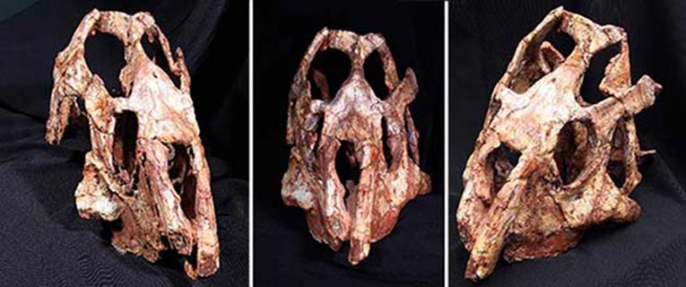 Com base em crânio coletado nos anos 1970, pesquisadores da UFRGS, USP e Unesp publicam a descrição do Brasinorhynchus mariantensis, réptil herbívoro pertencente à linhagem ancestral dos crocodilos e das aves - Fotos: Divulgação
