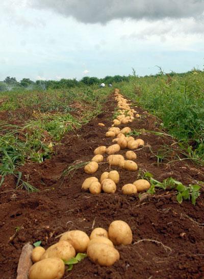 Plantação de batatas orgânicas - Foto: Elza Fiuza / Wikimedia Commons