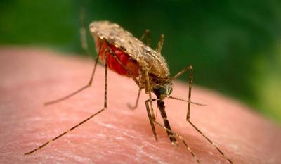 Mosquito Anopheles - Foto: Divulgação/Scientists Against Malaria)