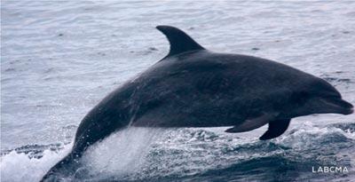 Golfinho nariz-de-garrafa emite assobios curtos, um som extremamente agudo. Ouça o áudio gravado pelo pesquisador - Foto: Acervo LABCMA