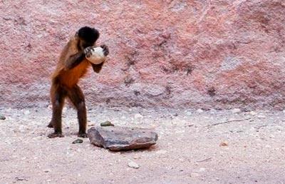 Macaco-prego (Sapajus libidinosus) usa pedra para quebrar fruto na serra da Capivara - Foto: Tiago Falótico/IP-USP