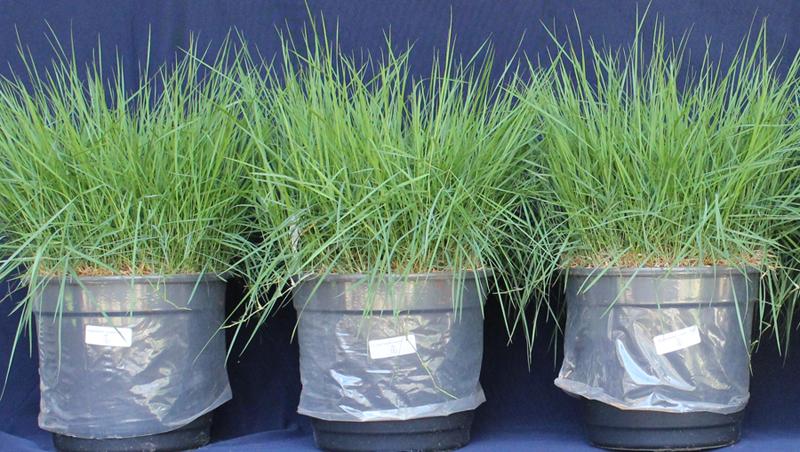 Resíduos de construções podem ser reciclados como substratos para plantas. Na imagem, grama Esmeralda cresce a partir de base oriunda de sobras de construção - Foto: Divulgação/Esalq