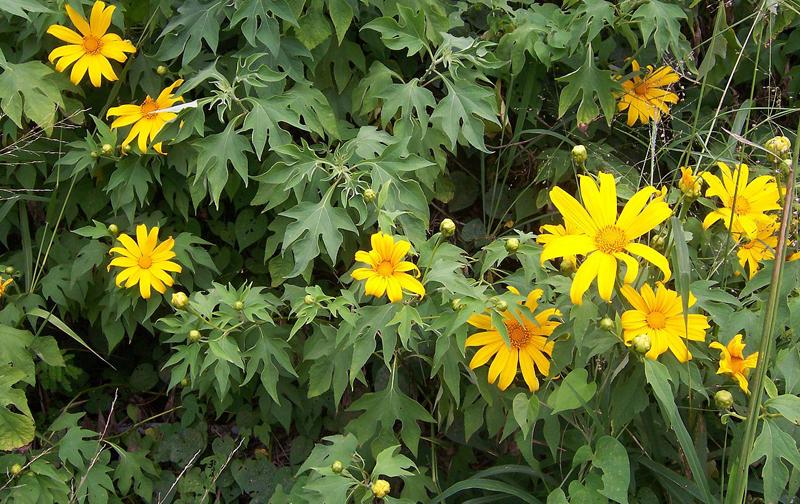 Estudo enfocou a Tithonia diversifolia, com reconhecida atividade anti-inflamatória e antimicrobiana, entre outras, e estabeleceu modelo para o manejo de diversas espécies - Foto: B. Navez/Wikimedia Commons