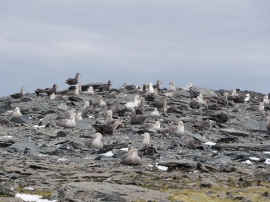 Estudo identifica contaminantes orgânicos no sangue de petréis-gigantes (Foto: Colônia de petréis gigantes na ilha Elefante, no arquipélago das Shetland do Sul, na Península Antártica/Fernanda Imperatrice Colabuono)