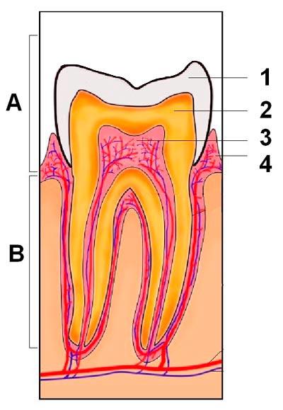 Coroa (A), raiz (B), esmalte (1), dentina (2), câmara pulpar (3), gengiva (4) - Arte: Pedro Bolle (baseado em foto Creative Commons)