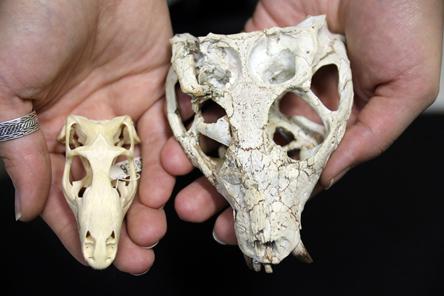 Fóssil de lagarto e crocodilo do acervo do museu de Zoologia - Foto: Cecília Bastos/USP Imagens