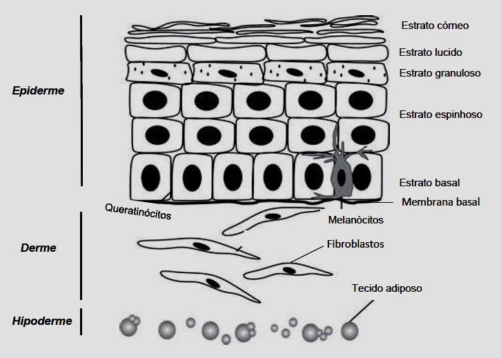 Componentes e camadas da pele - Fonte: Tese da pesquisadora