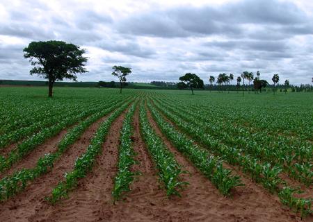 Plantação de milho no interior de São Paulo - Foto: José Reynaldo da Fonseca/Wikimedia Commons