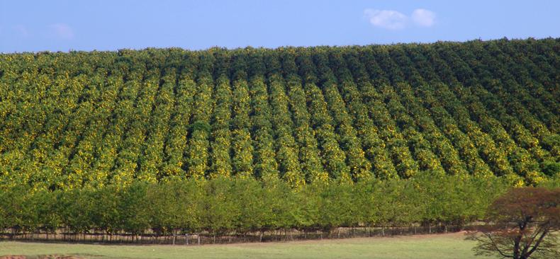 Plantação de laranja na cidade de Avaré, em São Paulo - Foto: José Reynaldo da Fonseca/Wikimedia Commons
