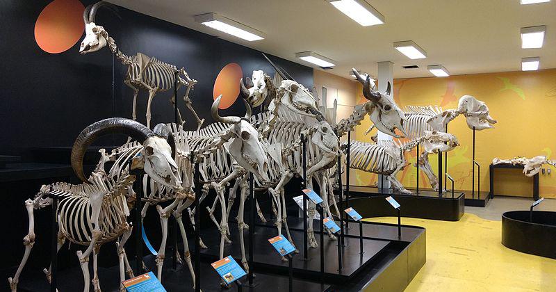 Museu de Anatomia Veterinária da FMVZ-USP (MAV) passou a fazer parte da Wikipedia - Foto: MAV via Wikipedia
