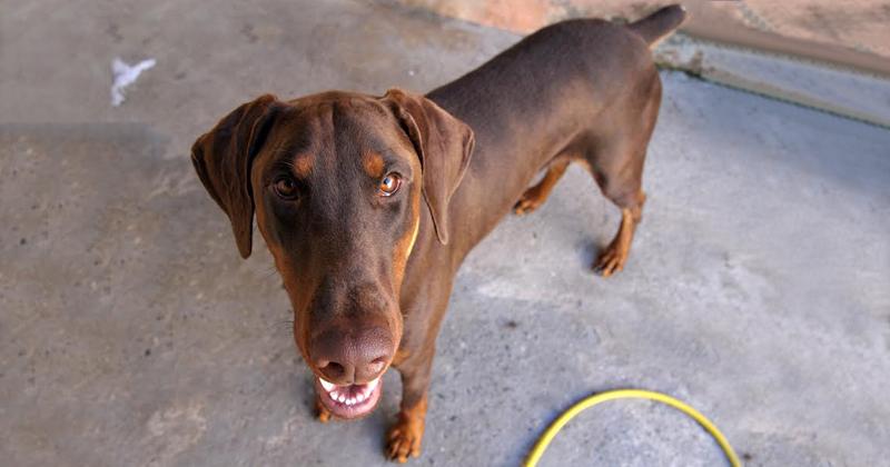 Cachorro da raça doberman chamado Lobo - Foto: Cecíllia Bastos/USP Imagens