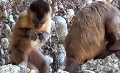 Fragmentos de pedras gerados acidentalmente pelos primatas no Parque Nacional da Serra da Capivara são parecidos com instrumentos talhados em rochas pelos ancestrais humanos há 2,6 milhões de anos, constata estudo - Foto: M.Haslam e T. Proffitt / Primate Archaeology Group - Oxford University