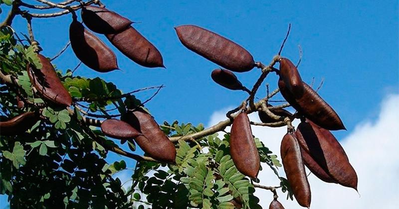 Pesquisadores de São Paulo, Amazonas e Pará demonstram que extrato da planta é rico em ácido gálico, que age sobre enzimas que atuam no envelhecimento e degradam o colágeno - Foto: Wikimedia Commons