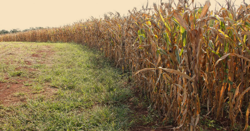 Produção de milho está entre os temas da aula aberta - Foto: Marcos Santos/ USP Imagens