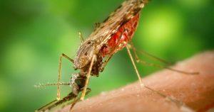 Falta de proteína da superfície do parasita da malária evita infecção do mosquito