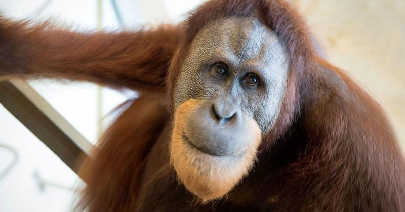 Copiando seus treinadores, Rocky o orangotango, aprendeu mais de 500 novos tons vocais - Foto: Universo Inteligente