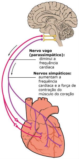 Representação das vias do sistema nervoso autônomo ao coração - Imagem: Adaptado de Wikimedia Commons