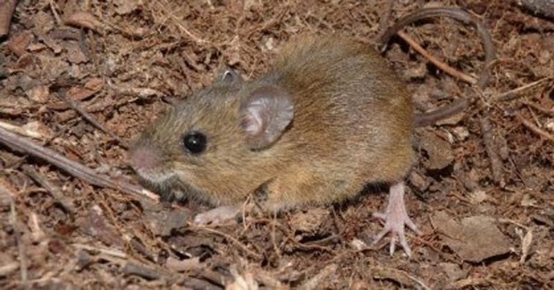 O Oligoryzomys nigripes, que vive na Mata Atlântica, é um dos roedores que hospeda o vírus. Pesquisadores produzem mapa de risco que pode ajudar no combate à doença - Foto: Erica Carmo