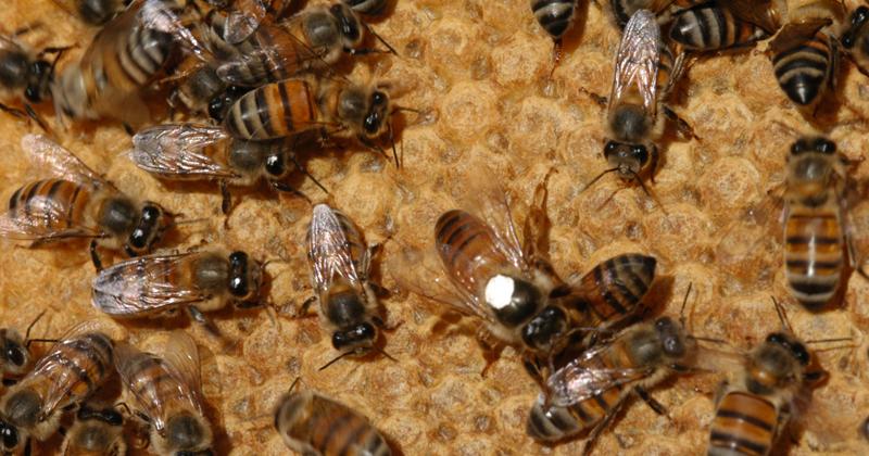 Abelha africanizada comum no Brasil (Apes Mellifera), resultado da hibridação de variedades africana e europeia, é responsável pela produção de mel comercializado - Foto: Eduardo Cesar/Revista Fapesp