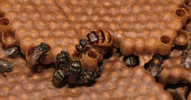 Abelha da espécie Scaptotrigona depilis - Foto: Cristiano Menezes