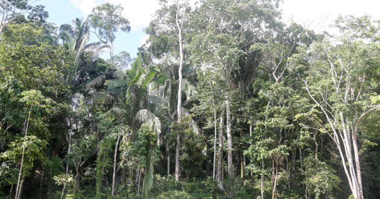 Transpiração das árvores amazônicas leva grande volume de água para a atmosfera e alimenta chuvas em outras regiões