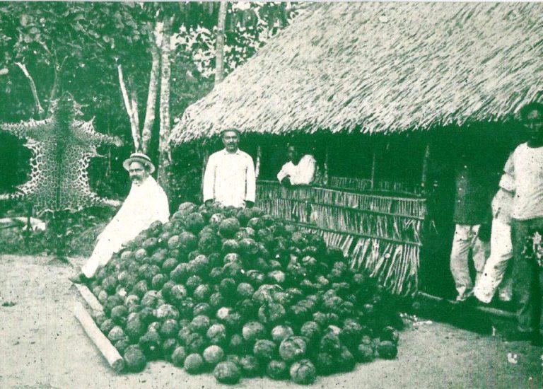 Frutos (ouriços) da castanheira coletados na floresta amazônica