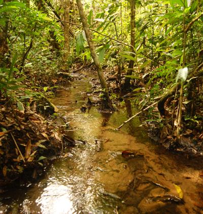 Na floresta preservada, o riacho de cabeceira possui muitas árvores em suas margens. As copas dessas árvores bloqueiam a radiação do sol e mantêm a temperatura da água mais fresca que nas áreas desmatadas.