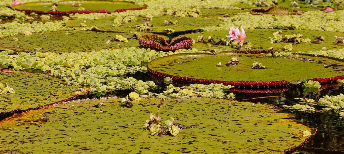 As vitórias-régias, uma das maiores plantas aquáticas do mundo, são facilmente encontradas no Rio Croa, em Cruzeiro do Sul, embelezando ainda mais a paisagem natural do lugar - Foto: Cecília Bastos/USP Imagens