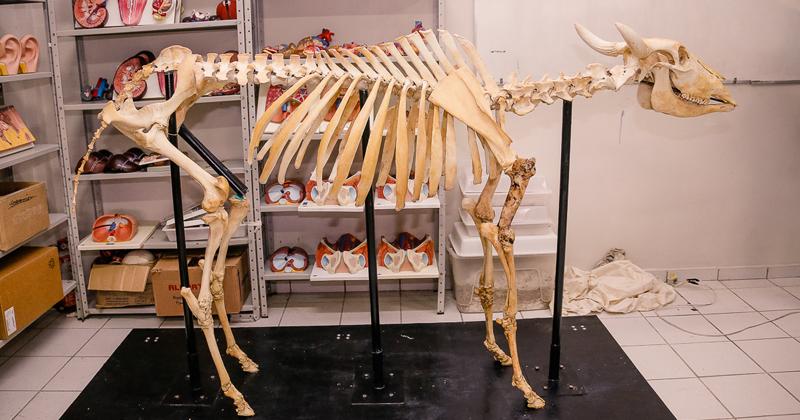 Esqueleto de um bovino do Laboratório Didático de Anatomia e Fisiologia Comparada da Ufac-Campus Floresta - Foto: Cecília Bastos/USP Imagens