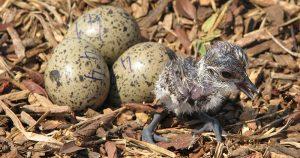 """Debate na """"Science"""": biólogos refutam maior predação de ovos em aves no Ártico"""