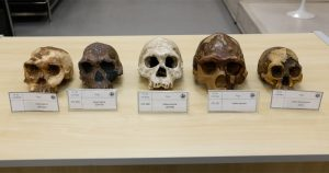 Réplicas de cinco crânios antigos que pertencem às espécies Homo habilis, Homo erectus e Homo floresiensis