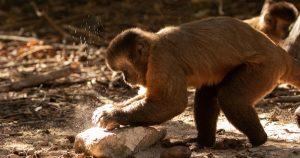 Ferramentas de pedra são usadas por macacos-prego há 3 mil anos