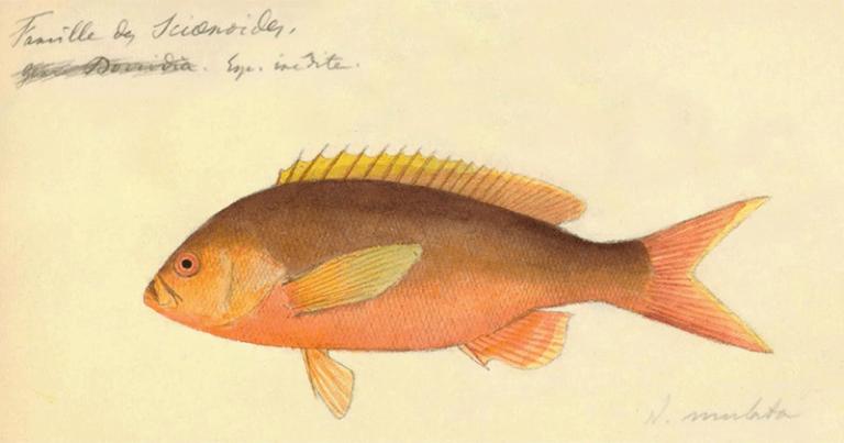 As espécies foram desenhadas em todos os seus detalhes - Foto: Reprodução/ Livro: Peixes do Brasil