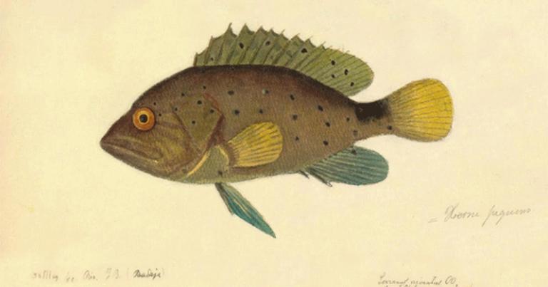 O livro traz um conjunto completo de aquarelas de peixes marinhos e de água doce - Foto: Reprodução/ Livro: Peixes do Brasil