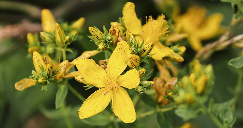Entenda quais são as propriedades medicinais da erva-de-são-joão – Jornal  da USP