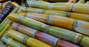 Bactérias e composto orgânico podem aumentar a produtividade no cultivo de cana