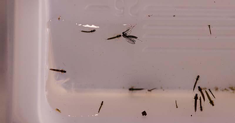 A malária é transmitida pela fêmea infectada do mosquito do gênero Anopheles. O Instituto de Ciências Biomédicas (ICB) da USP realiza um projeto para a eliminação da malária residual na Amazônia brasileira no estado do Acre (Cecília Bastos/USP Imagens)