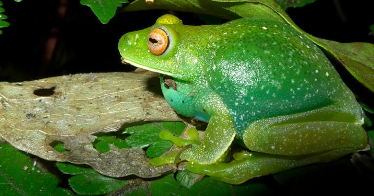 Legenda: Os sapos utilizam um componente químico azul para ficarem verdes e se camuflarem em folhas Foto: Leo Malagoli