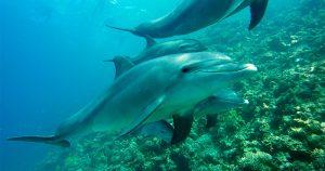Tecnologia de drones e hidrofones ajuda a entender como golfinhos caçam
