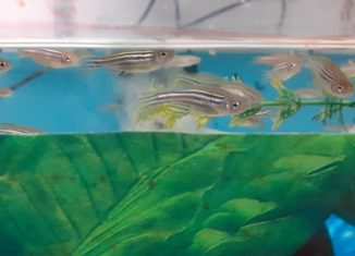 O zebrafish possui algumas características que o tornam um modelo experimental animal interessante, como por exemplo tamanho pequeno e resposta imunológica parecida com o ser humano - Foto: Cedida pelo pesquisador