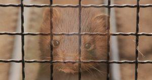 O que motivou o abate de visons na Holanda e Dinamarca?