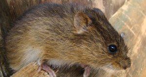 Espécies de ratos-do-brejo esclarecem conexões entre áreas alagadas da América do Sul