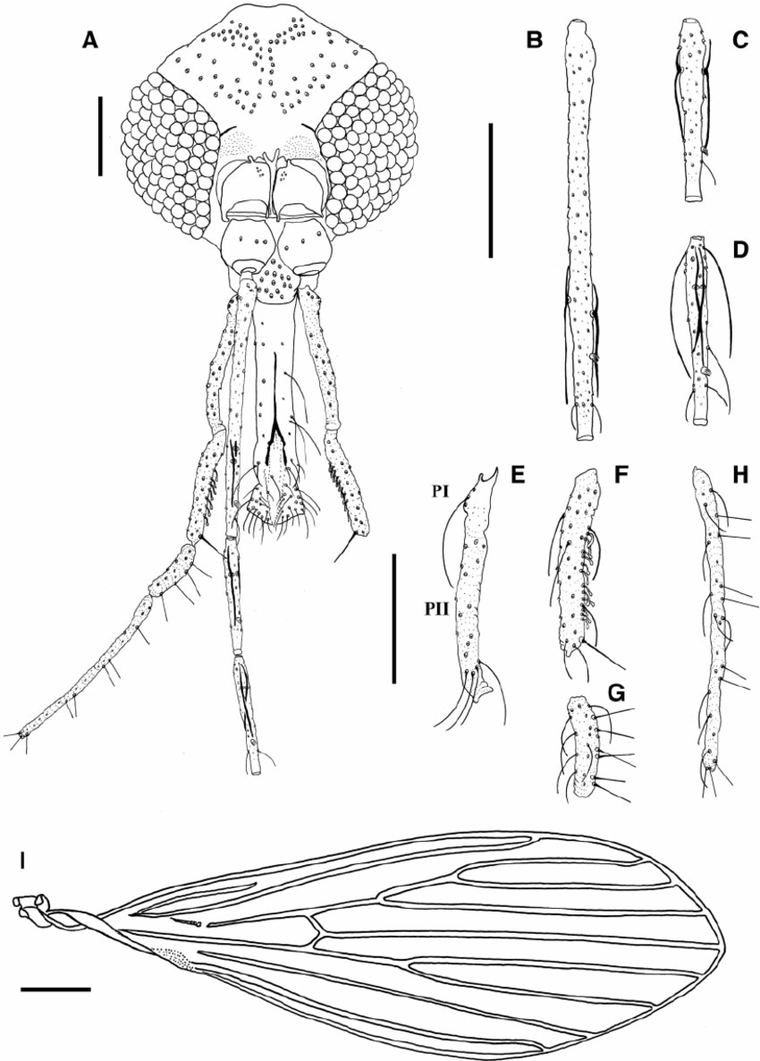 Fig. 1. Male holotype of Psathyromyia baratai sp. n. Sa ́ bio, Andrade & Galati. ( A ) Head. (B ) Flagellomere I. ( C ) Flagellomere II. ( D ) Flagellomere III. (E ) Palpus I and II. ( F ) Palpus III. ( G ) Palpus IV. ( H ) Palpus V. (Scale bar: 100 m m). (I ) Wing of the male paratype (Scale bar: 200 m m).