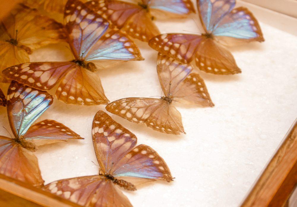 Coleção de lepidópteros (borboletas e mariposas) do MZ - Foto: Cecília Bastos / USP Imagens